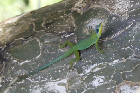 Lizard on the lignum vitae tree, Guaiacum officinale